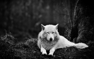 White Wolf in the Wild wallpapers and stock photos