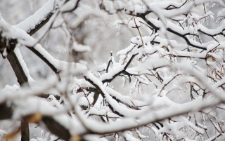 Snowy Branches wallpapers and stock photos