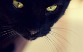 Black Cat Close-up wallpapers and stock photos