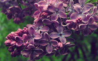 Lilac Blossoms wallpapers and stock photos