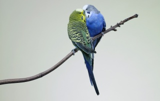 Parrot Love wallpapers and stock photos