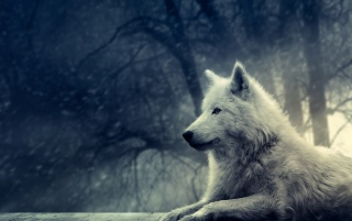 Nigth of the Wolf wallpapers and stock photos