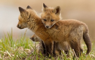 Fox Cubs wallpapers and stock photos