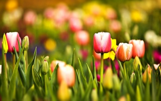 Multicoloured Spring Tulips wallpapers and stock photos