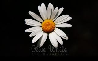 Marguerite des Bois wallpapers and stock photos
