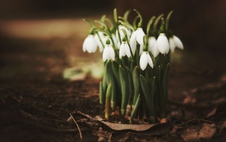 Spring Snowdrops wallpapers and stock photos