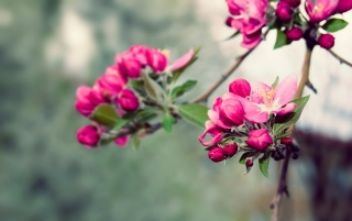 Pink Blossoms wallpapers and stock photos