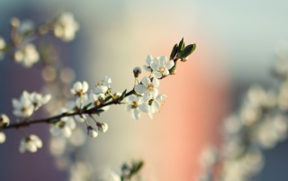 Spring Tree Blossoms wallpapers and stock photos