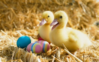 Ducklings and Easter Eggs wallpapers and stock photos