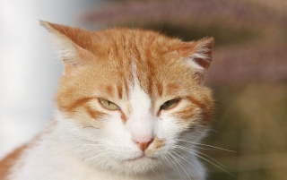 Random: Sleepy Orange and White Cat