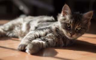 Gray Kitten Stretching wallpapers and stock photos