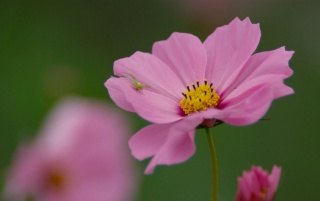 Cosmos wallpapers and stock photos