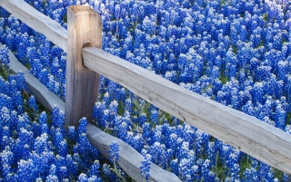 Previous: Blue Flowers Field
