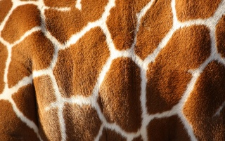Giraffe wallpapers and stock photos