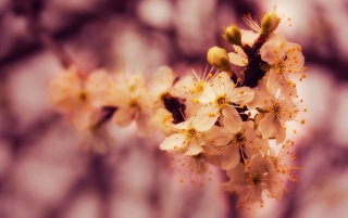 Spring Blossoms wallpapers and stock photos