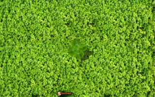 Spring Clover Field wallpapers and stock photos