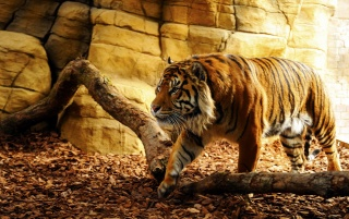 Tiger in Captivity wallpapers and stock photos
