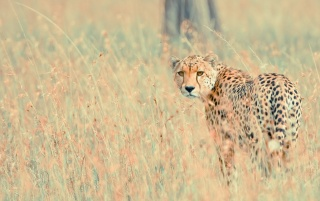 Wild Cheetah wallpapers and stock photos