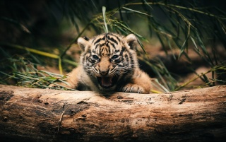 Tiger Cub wallpapers and stock photos