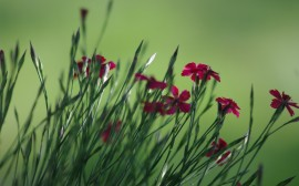 Red Spring Flowers wallpapers and stock photos