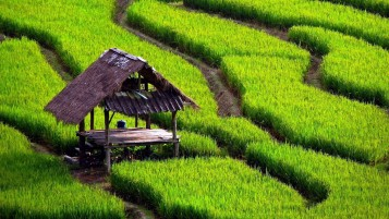 Paddy Fields wallpapers and stock photos