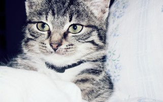 Cute Kitty in Bed wallpapers and stock photos