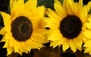 Yellow Sunflowers wallpapers and stock photos