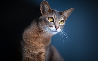 Brown Cat wallpapers and stock photos