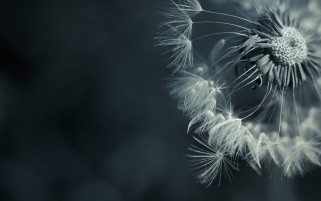 Dandelions wallpapers and stock photos