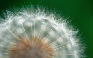 Macro dandelion wallpapers and stock photos