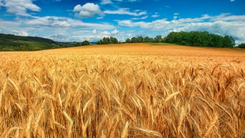 Golden Wheat Field wallpapers and stock photos