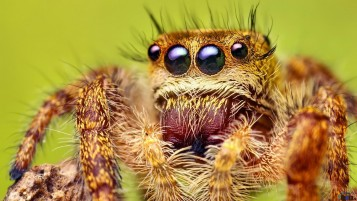 Jumping Spider wallpapers and stock photos