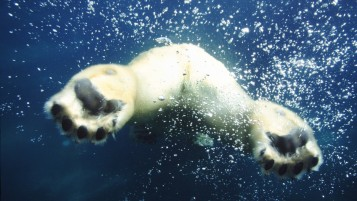 Polar Bear Swimming wallpapers and stock photos