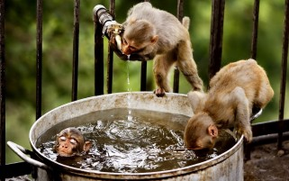 Monkey Bath wallpapers and stock photos