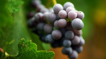 Random: Purple Grapes Macro