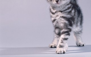 Grey Kitten wallpapers and stock photos