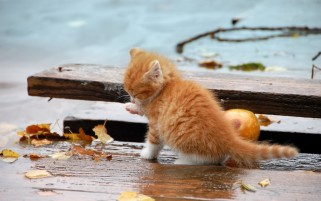 Small Orange Kitten in the Rain wallpapers and stock photos