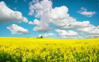 Random: Yellow Field