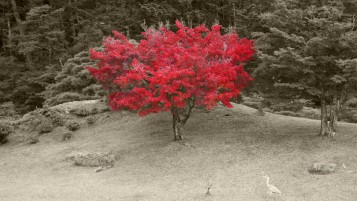 Random: Lone Red Maple