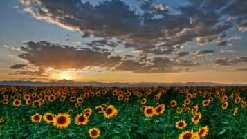 Sun Flowers wallpapers and stock photos