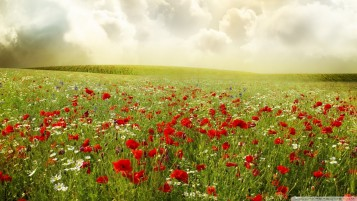 Summer Poppy Field wallpapers and stock photos