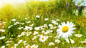 Daisy Summer Field wallpapers and stock photos