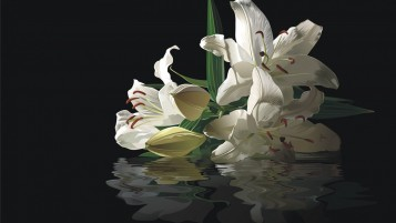 Lilies Reflection wallpapers and stock photos