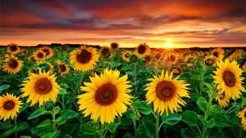 Random: Beautiful Sun Flowers