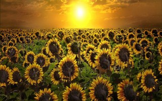 Random: Sunrise & Sun Flowers