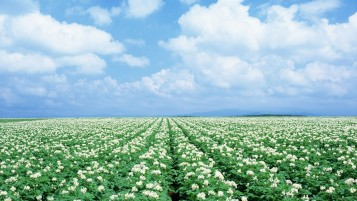 Random: White Flower Field