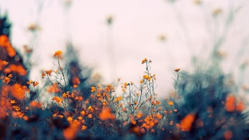 Field of Orange Flowers wallpapers and stock photos