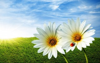 Daisy Twins & Lady Bug wallpapers and stock photos