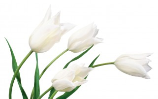 White Tulips wallpapers and stock photos
