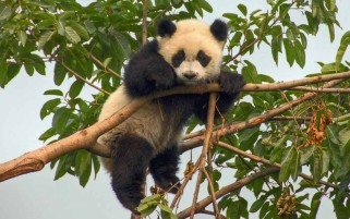 Cute Little Panda wallpapers and stock photos